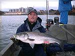 Calvert Cliffs striper. Photo from Darren Rickwood.
