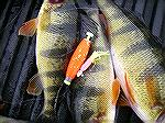Marshy Hope yellow perch caught yesterday morning 12/21/15 on a little tube bait under bobber in 3FT of water. Very low tide coming in.
