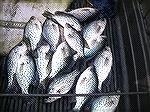 Caught my 15 crappie limit in about two Hrs. this morning with a little 1/16th jig with tube bait. Some under bobber, and some without bobber.